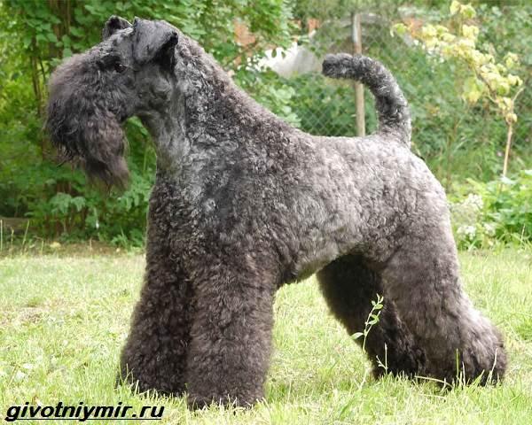 Керри-блю-терьер-собака-Описание-особенности-уход-и-цена-керри-блю-терьера-1