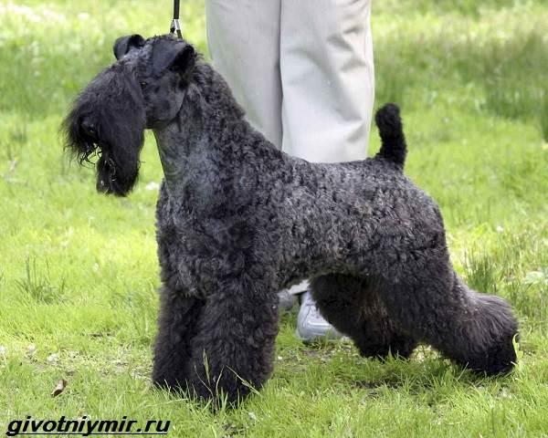 Керри-блю-терьер-собака-Описание-особенности-уход-и-цена-керри-блю-терьера-2
