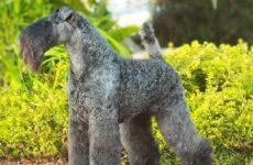 Керри блю терьер собака. Описание, особенности, уход и цена керри блю терьера