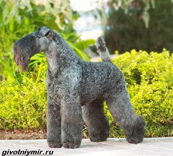 Керри-блю-терьер-собака-Описание-особенности-уход-и-цена-керри-блю-терьера-3