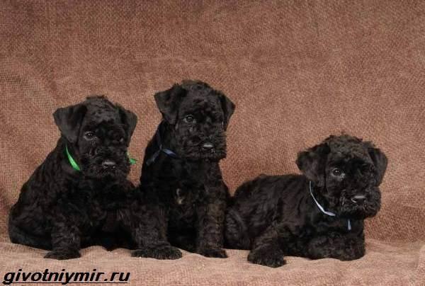 Керри-блю-терьер-собака-Описание-особенности-уход-и-цена-керри-блю-терьера-4