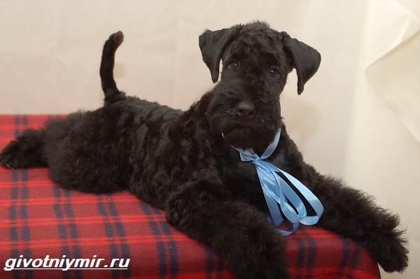 Керри-блю-терьер-собака-Описание-особенности-уход-и-цена-керри-блю-терьера-5