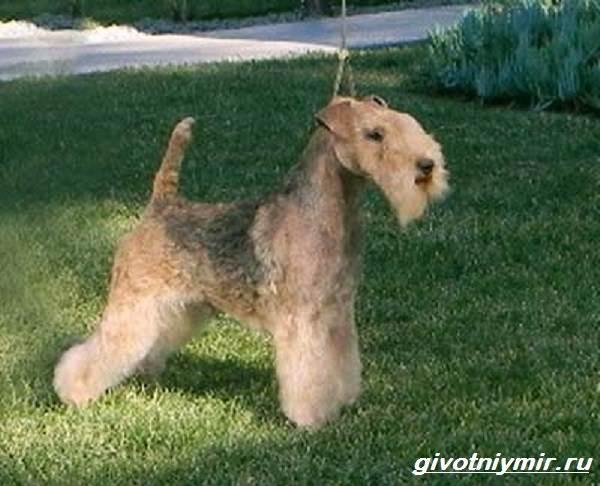 Керри-блю-терьер-собака-Описание-особенности-уход-и-цена-керри-блю-терьера-7