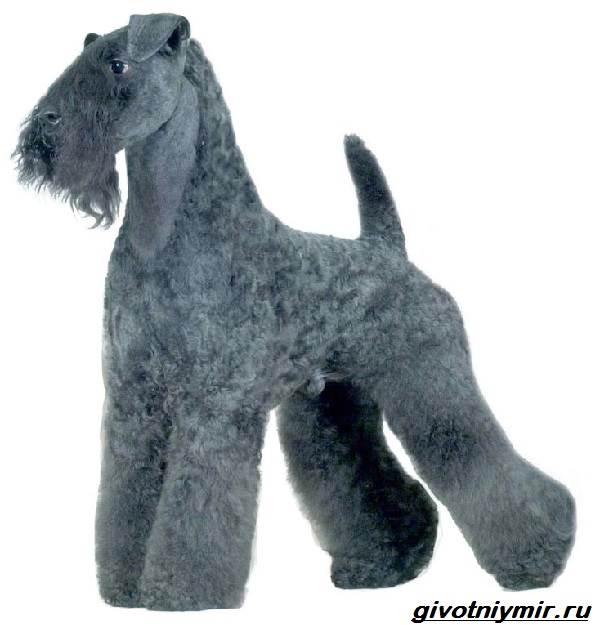 Керри-блю-терьер-собака-Описание-особенности-уход-и-цена-керри-блю-терьера-8