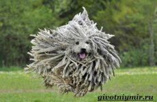 Командор собака. Описание, особенности, уход и цена породы командор