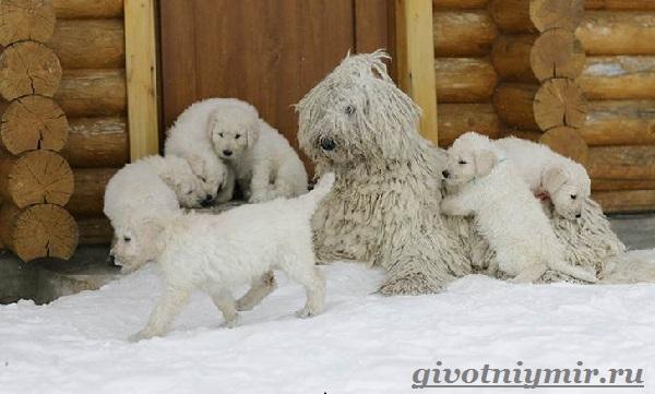 Командор-собака-Описание-особенности-уход-и-цена-породы-командор-19