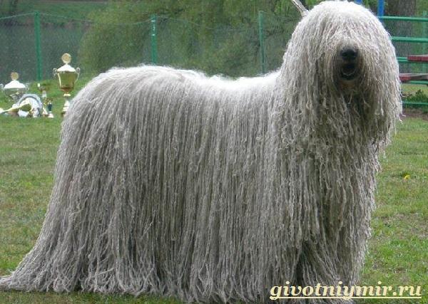 Командор-собака-Описание-особенности-уход-и-цена-породы-командор-8
