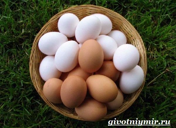 Курица-голошейка-Описание-особенноси-уход-и-цена-кур-голошеек-10
