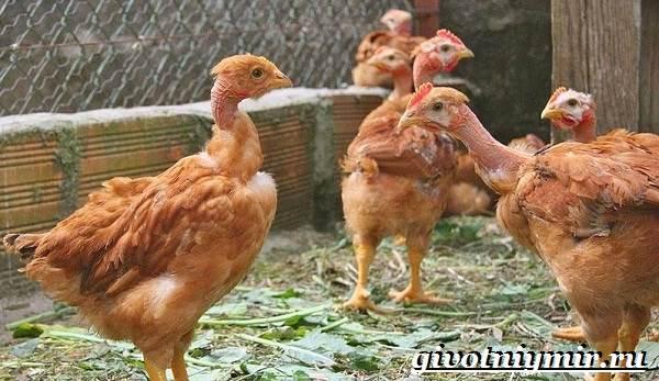 Курица-голошейка-Описание-особенноси-уход-и-цена-кур-голошеек-21