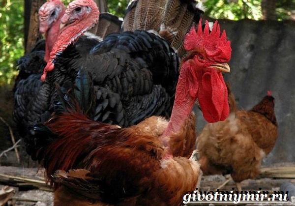 Курица-голошейка-Описание-особенноси-уход-и-цена-кур-голошеек-6