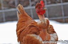 Курица голошейка. Описание, особенности, уход и цена кур голошеек