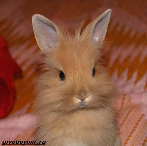 Львиноголовый-кролик-Описание-особенности-уход-и-цена-львиноголового-кролика-1