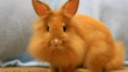 Львиноголовый кролик. Описание, особенности, уход и цена львиноголового кролика