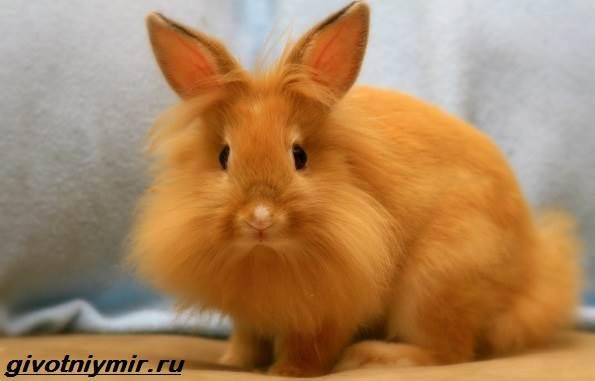 Львиноголовый-кролик-Описание-особенности-уход-и-цена-львиноголового-кролика-3
