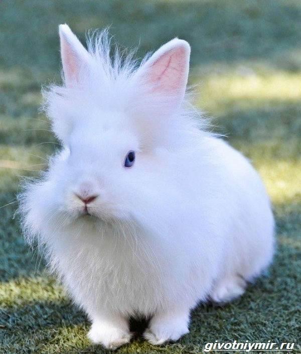 Львиноголовый-кролик-Описание-особенности-уход-и-цена-львиноголового-кролика-4