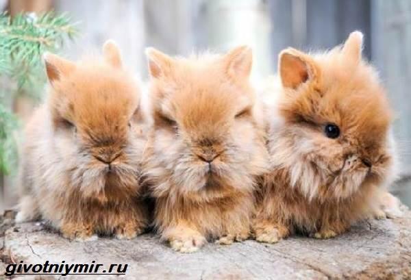 Львиноголовый-кролик-Описание-особенности-уход-и-цена-львиноголового-кролика-5