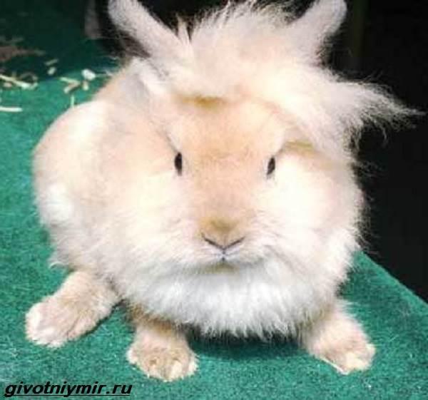 Львиноголовый-кролик-Описание-особенности-уход-и-цена-львиноголового-кролика-6