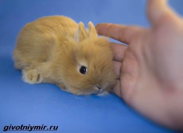 Львиноголовый-кролик-Описание-особенности-уход-и-цена-львиноголового-кролика-7