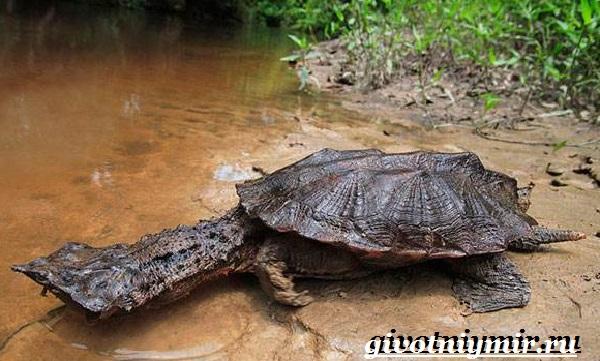 Матамата-черепаха-Образ-жизни-и-среда-обитания-черепахи-матамата-1