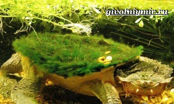 Матамата-черепаха-Образ-жизни-и-среда-обитания-черепахи-матамата-15