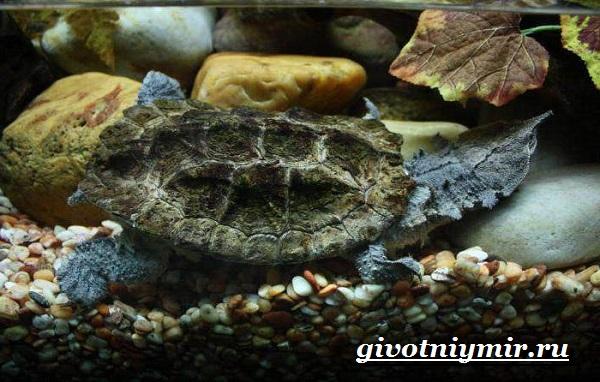 Матамата-черепаха-Образ-жизни-и-среда-обитания-черепахи-матамата-17