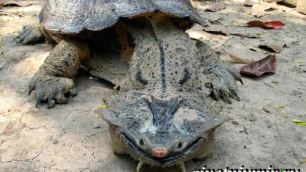 Матамата черепаха. Образ жизни и среда обитания черепахи матамата