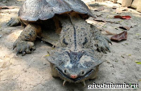 Матамата-черепаха-Образ-жизни-и-среда-обитания-черепахи-матамата-6