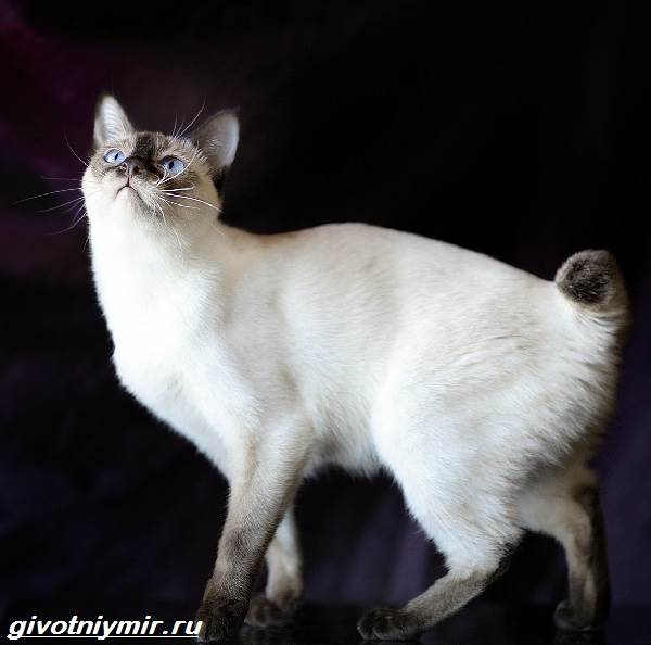 Меконгский-бобтейл-кошка-Описание-особенности-уход-и-цена-меконгского-бобтейла-1