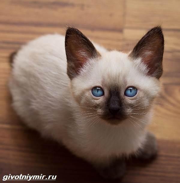 Меконгский-бобтейл-кошка-Описание-особенности-уход-и-цена-меконгского-бобтейла-2