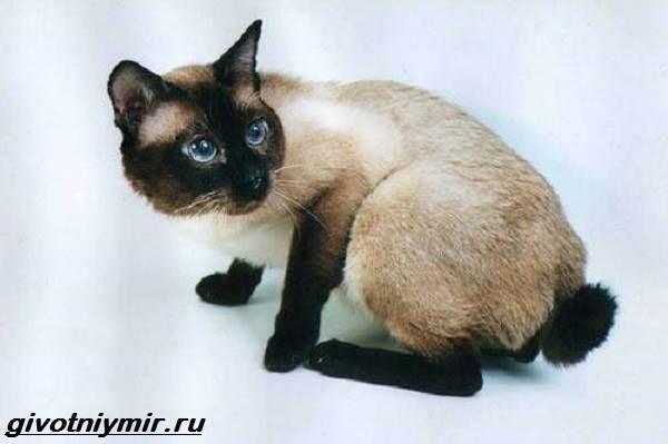 Меконгский-бобтейл-кошка-Описание-особенности-уход-и-цена-меконгского-бобтейла-3