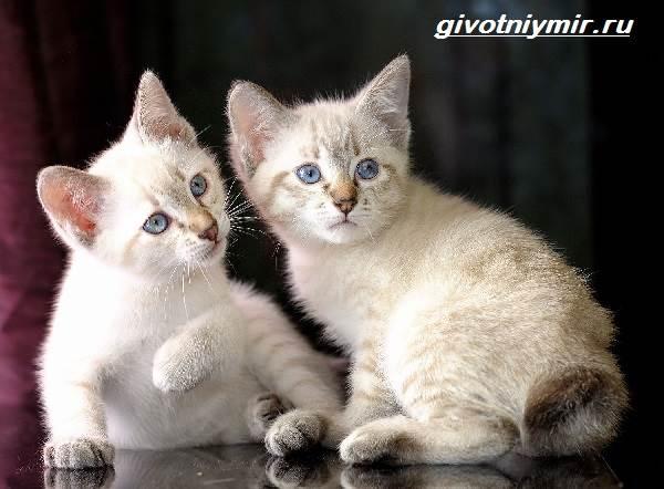 Меконгский-бобтейл-кошка-Описание-особенности-уход-и-цена-меконгского-бобтейла-5