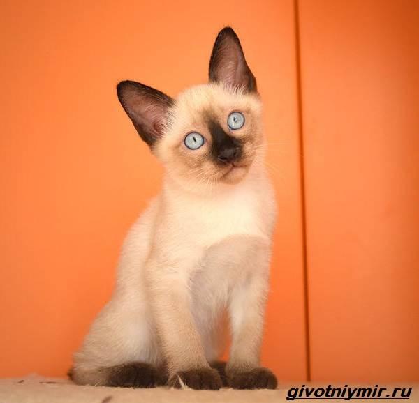 Меконгский-бобтейл-кошка-Описание-особенности-уход-и-цена-меконгского-бобтейла-6