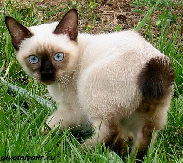 Меконгский-бобтейл-кошка-Описание-особенности-уход-и-цена-меконгского-бобтейла-7