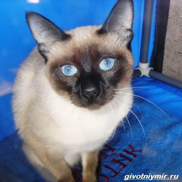Меконгский-бобтейл-кошка-Описание-особенности-уход-и-цена-меконгского-бобтейла-8
