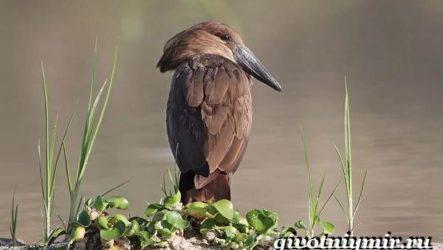 Молотоглав птица. Образ жизни и среда обитания молотоглава