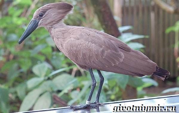 Молотоглав-птица-Образ-жизни-и-среда-обитания-молотоглава-7