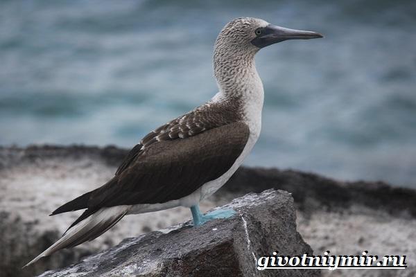 Олуша-птица-Образ-жизни-и-среда-обитания-птицы-олуши-15