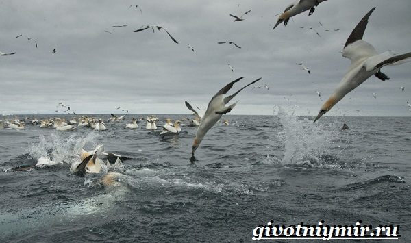 Олуша-птица-Образ-жизни-и-среда-обитания-птицы-олуши-18