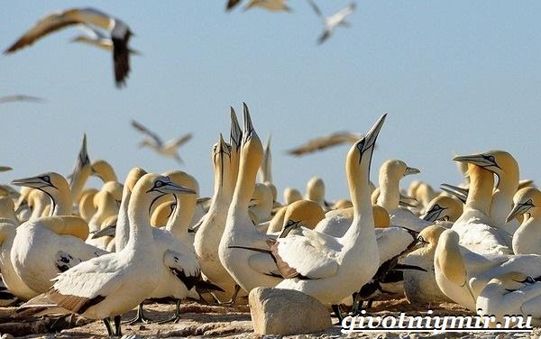 Олуша-птица-Образ-жизни-и-среда-обитания-птицы-олуши-19