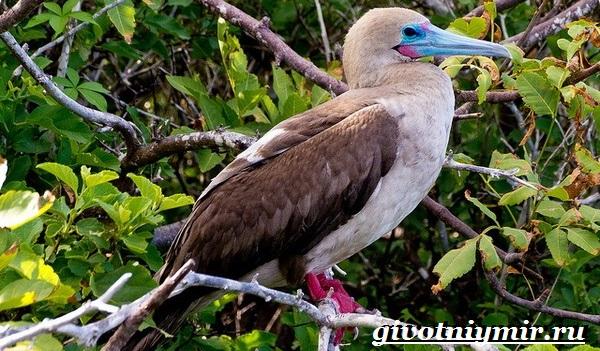 Олуша-птица-Образ-жизни-и-среда-обитания-птицы-олуши-20