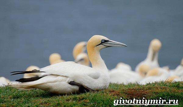 Олуша-птица-Образ-жизни-и-среда-обитания-птицы-олуши