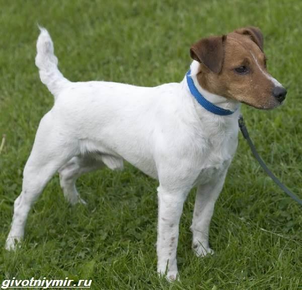 Парсон-рассел-терьер-собака-Описание-особенности-уход-и-цена-парсон-рассел-терьера-1