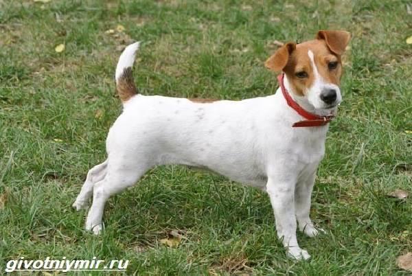 Парсон-рассел-терьер-собака-Описание-особенности-уход-и-цена-парсон-рассел-терьера-2