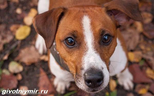 Парсон-рассел-терьер-собака-Описание-особенности-уход-и-цена-парсон-рассел-терьера-3
