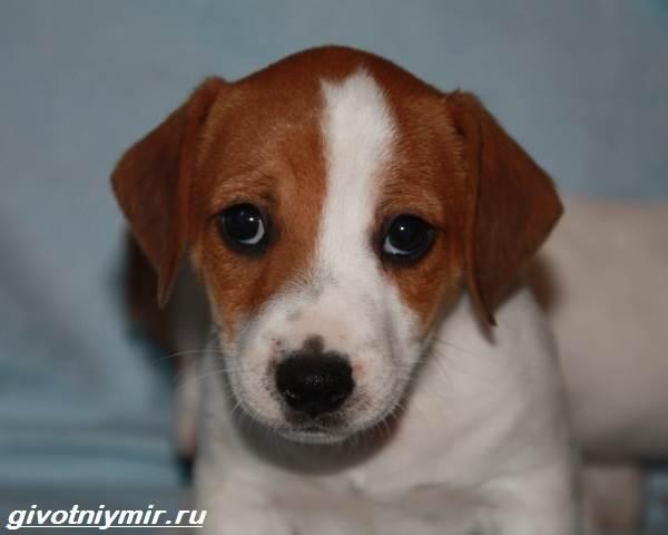 Парсон-рассел-терьер-собака-Описание-особенности-уход-и-цена-парсон-рассел-терьера-4
