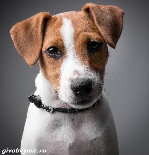 Парсон-рассел-терьер-собака-Описание-особенности-уход-и-цена-парсон-рассел-терьера-5