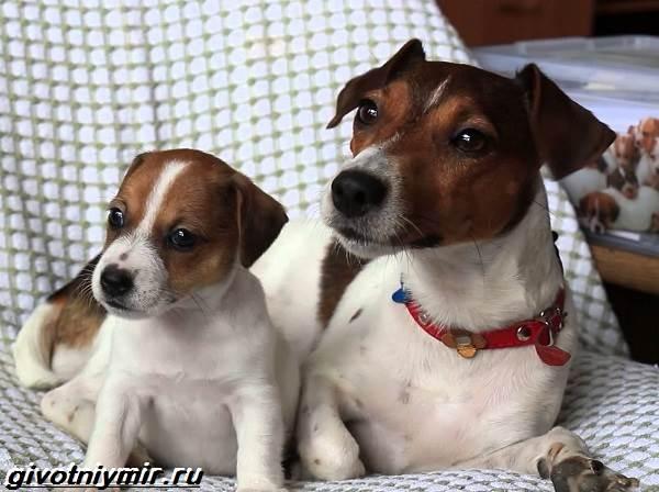Парсон-рассел-терьер-собака-Описание-особенности-уход-и-цена-парсон-рассел-терьера-6