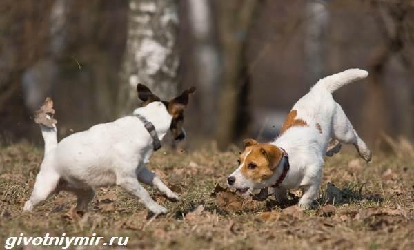 Парсон-рассел-терьер-собака-Описание-особенности-уход-и-цена-парсон-рассел-терьера-7