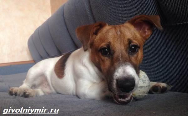 Парсон-рассел-терьер-собака-Описание-особенности-уход-и-цена-парсон-рассел-терьера-8