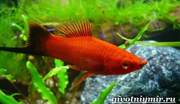 Пецилия-рыбка-Описание-особенности-уход-и-цена-пецилии-10